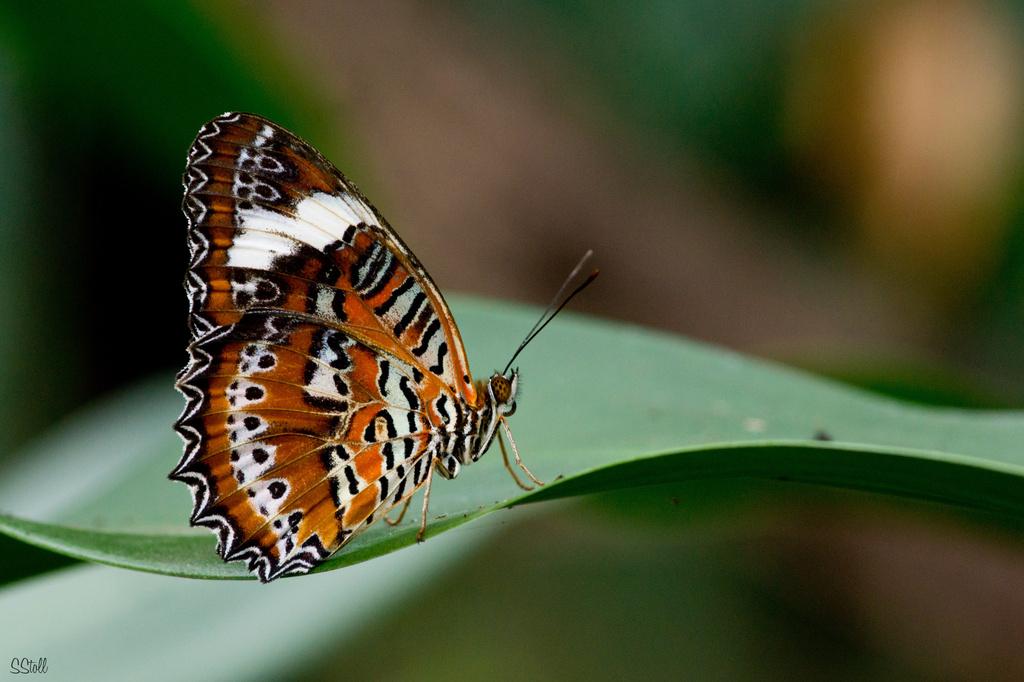 Orange Lacewing by bella_ss