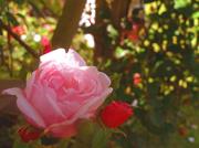 8th Jun 2014 - Rose Arch