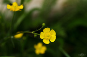 8th Jun 2014 - Buttercup