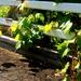 Station Road Bridge Grape Vines