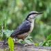 Nuthatch - 9-06 by barrowlane