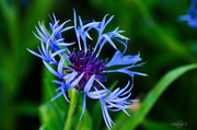 9th Jun 2014 - Mountain cornflower