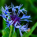 Mountain cornflower by elisasaeter