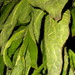 Drying Comfrey