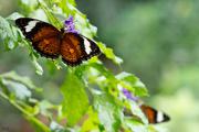 27th May 2014 - Orange Lacewing II