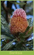 6th Jun 2014 - Time for Banksia