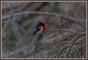 7th Jun 2014 - Another redbelly bird