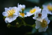 11th Jun 2014 - Wild Roses