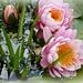 water lilies in the pink........... by quietpurplehaze