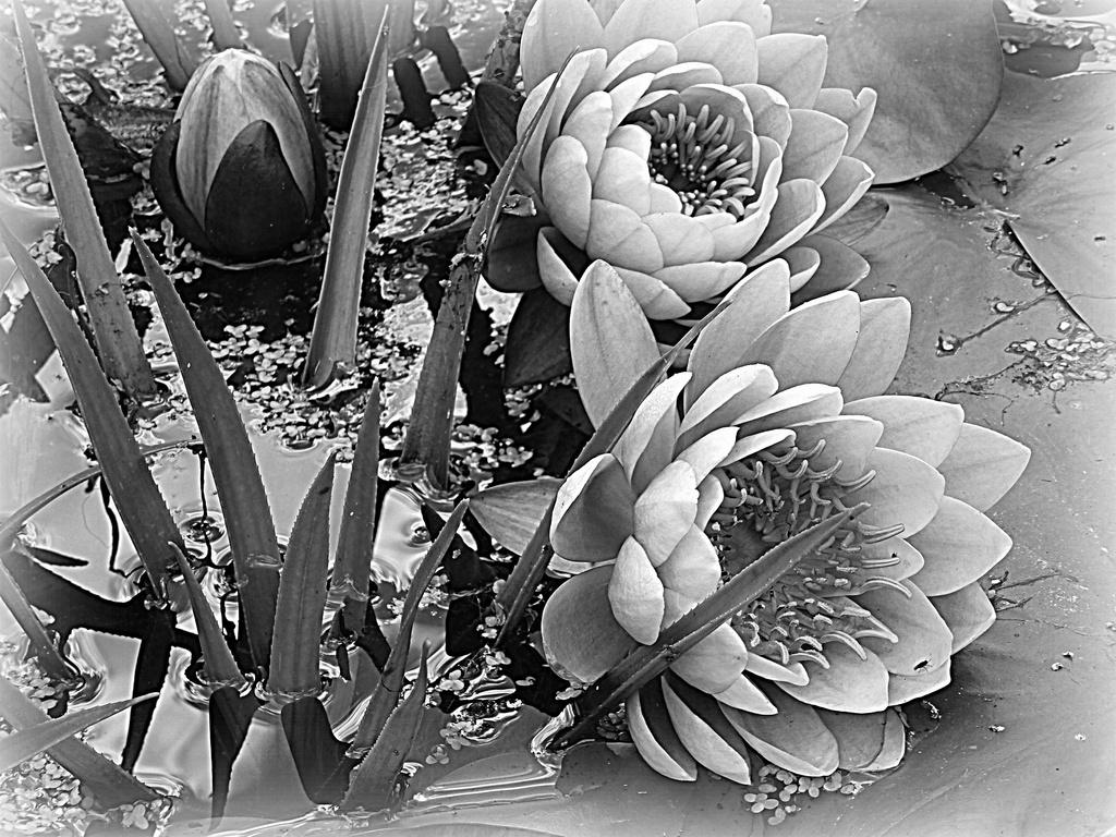 water lilies in b&w...... by quietpurplehaze