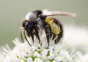 12th Jun 2014 - Woodland bee - 12-06