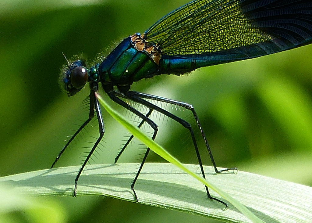 Banded demoiselle damselfly by janturnbull