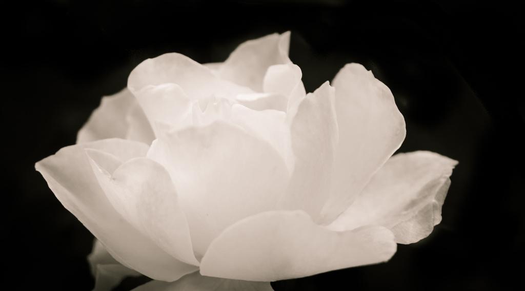 A Rose by cdonohoue