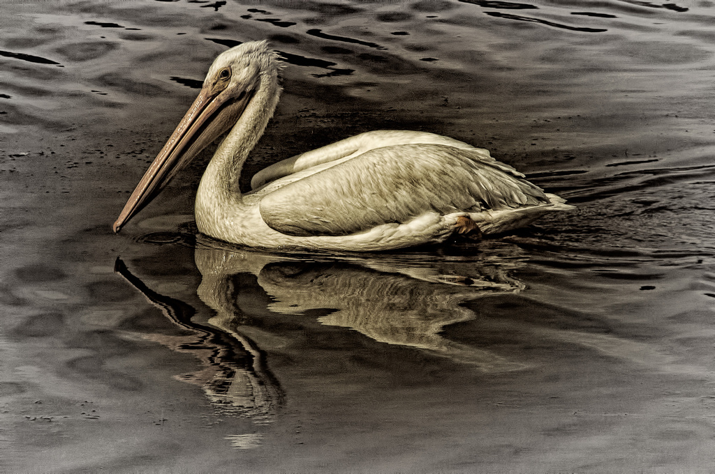 Pelican Time by mikegifford