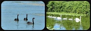 29th Jun 2013 - Black and White Swans