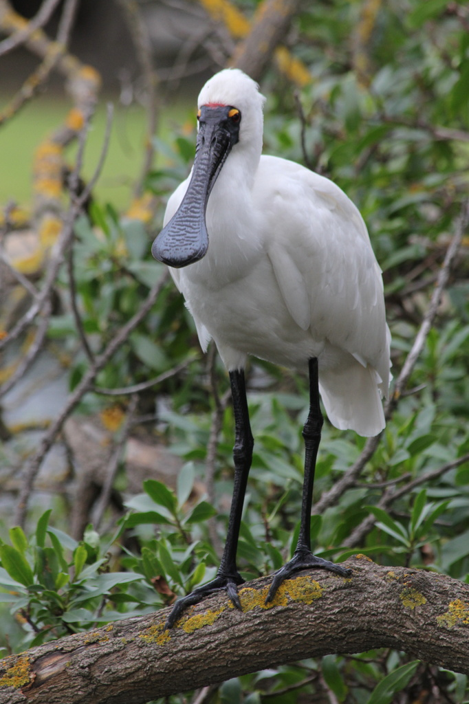 Spoonbill by gilbertwood