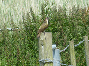 28th Jun 2013 - Woodpecker in Pagham, West Sussex