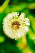 13th Jun 2014 - Dandelion