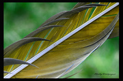 13th Jun 2014 - Parrot feather