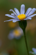 13th Jun 2014 - A Little Blue Daisy