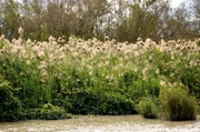 30th May 2014 - Grasses in Adelaide River