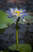 29th May 2014 - Waterlily, bee and damselfly