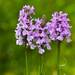 14th June 2014 - Wild Orchids by pamknowler