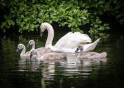 14th Jun 2014 - Cygnets - 14-06