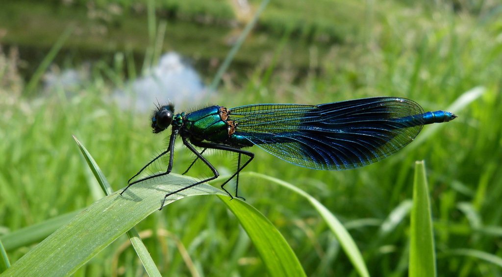 Another banded demoiselle by janturnbull