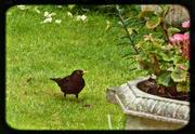 15th Jun 2014 - Blackbird