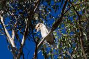 14th Jun 2014 - Kookaburra