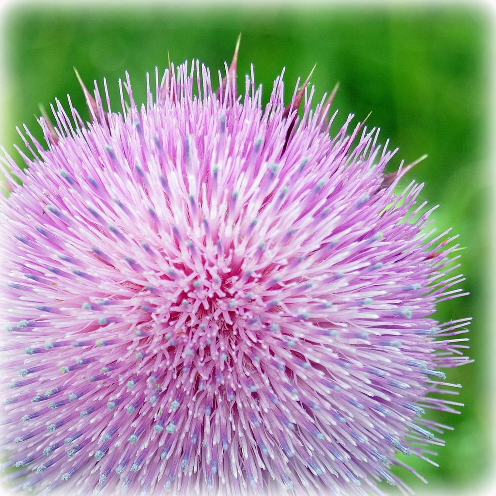 Prickly Problem by genealogygenie