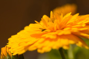 14th Jun 2014 - 2014 06 14 - Sunkissed Marigold (and visitor)
