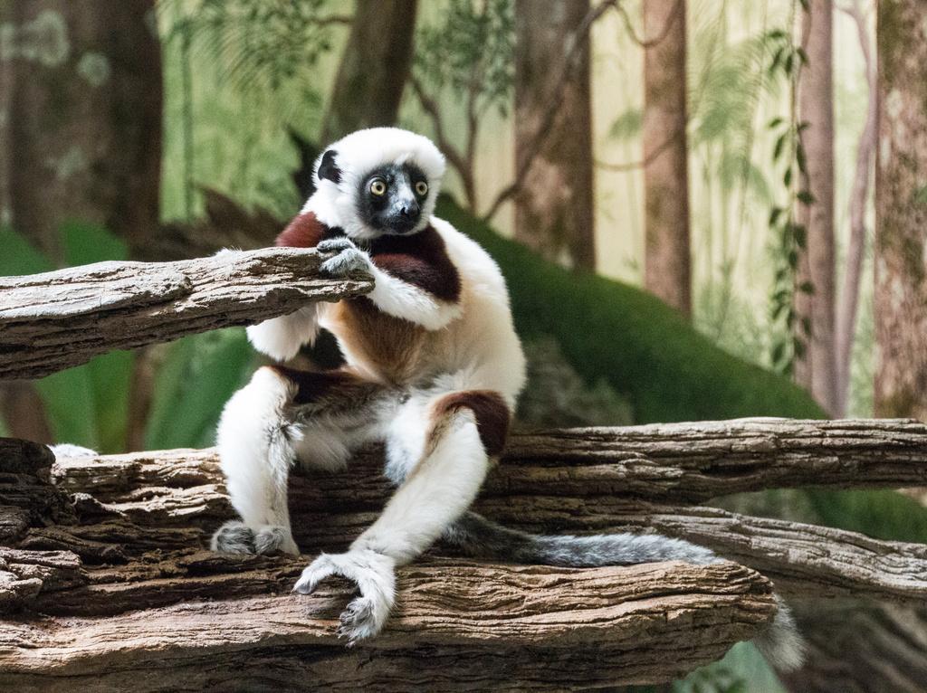 Lemur by cdonohoue