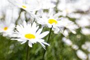 16th Jun 2014 - Great big daisies