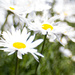 Great big daisies by jocasta