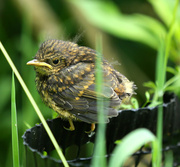17th Jun 2014 - Baby Robin-I think