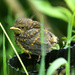 Baby Robin-I think on 365 Project