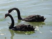 27th Jun 2013 - 2 Black Swans