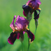 The iris! by fayefaye