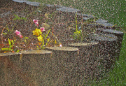 17th Jun 2014 - Watering the Orchids