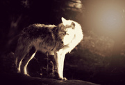 19th Jun 2014 - Dancing with the Wolves at Dusk
