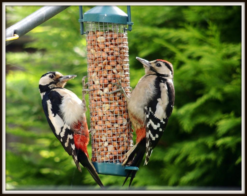 Woodpeckers galore by rosiekind