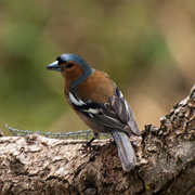 18th Jun 2014 - Chaffinch - 18-06