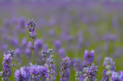 18th Jun 2014 - Lavender