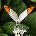 Hello Gorgeous - Sara Orange Tip by cdonohoue