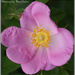 Wild Rose by pcoulson