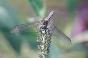 19th Jun 2014 - Dragonfly on the Butterfly Bush