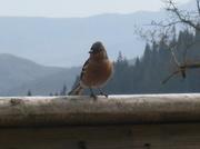 17th Apr 2014 - Cheeky chaffinch
