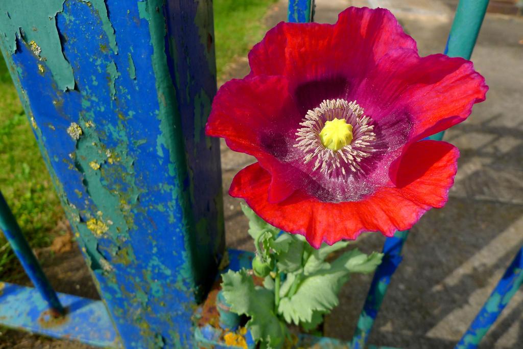 Peeling paint. Poppies. Park.  by newbank